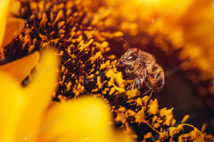Little bee on sunflower