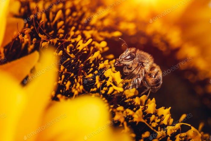 Kleine Biene auf Sonnenblume