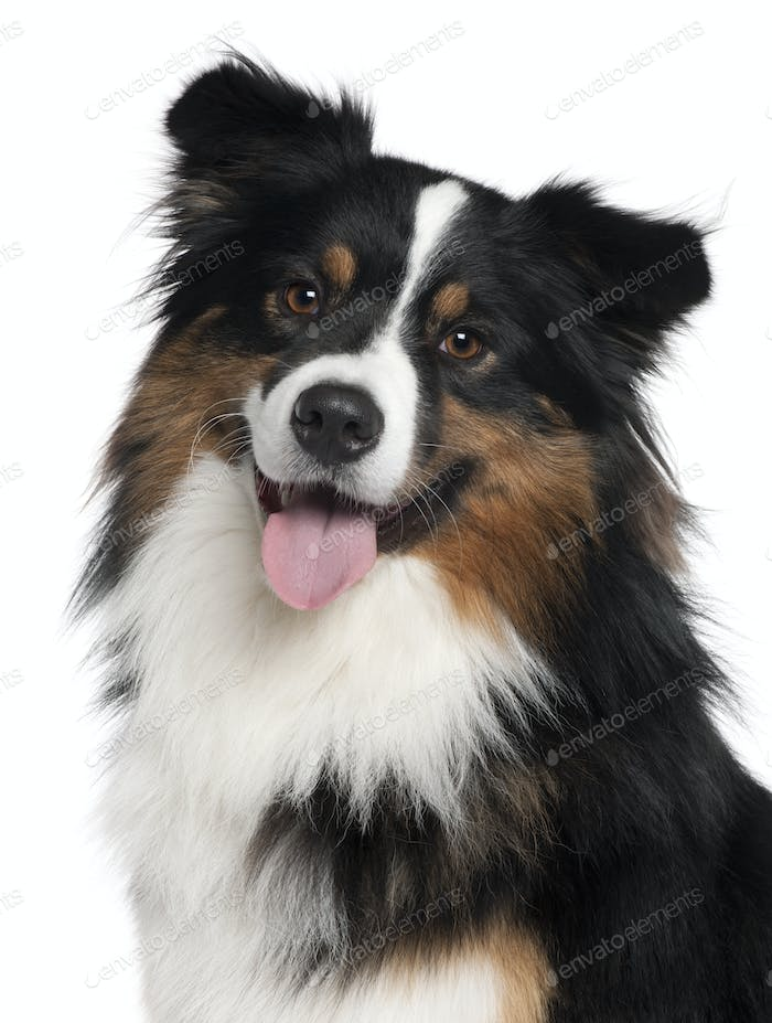 Close-up of Australian Shepherd dog, 2 years old, in front of white background
