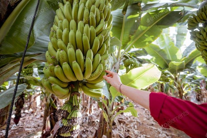 Woman ripping banana on the plantation
