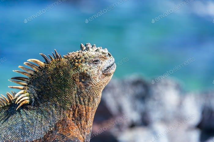 Marine Iguana and Blue Background in Galapagos