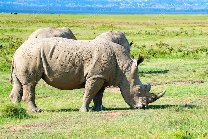 Pack of white rhino