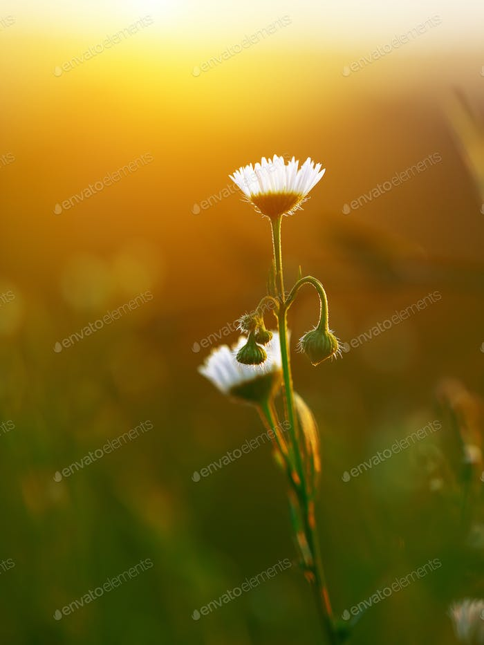 Meadow daisies flowers blooming in sunny day