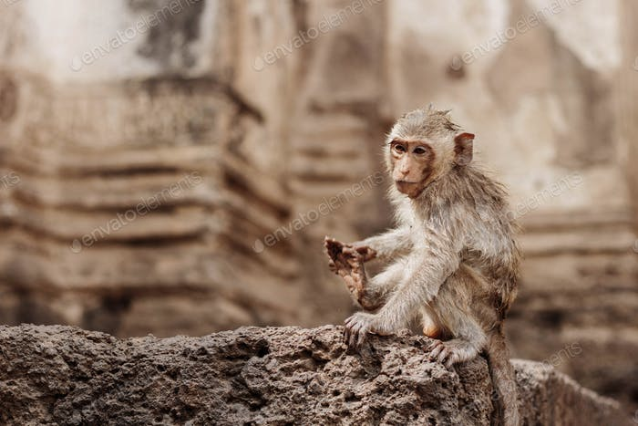 monkey with building background