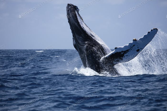 The large size and bulk of a Humpback whale (Megaptera novaeangliae) is witnessed as this breaching