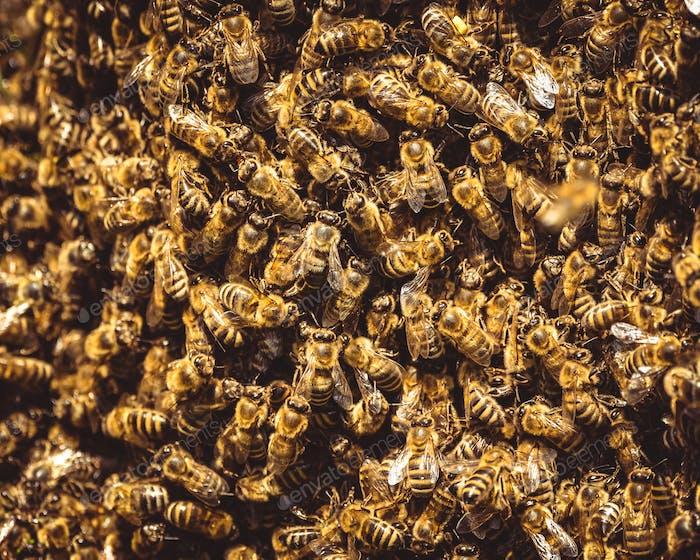 Honeybees swarm around their Queen