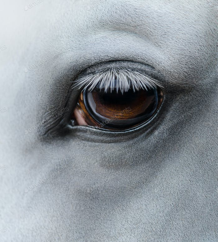 Side view closeup of eye of light gray horse