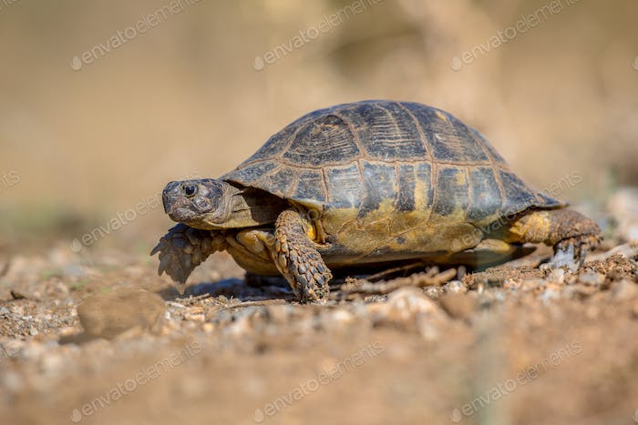 Marginated tortoise side