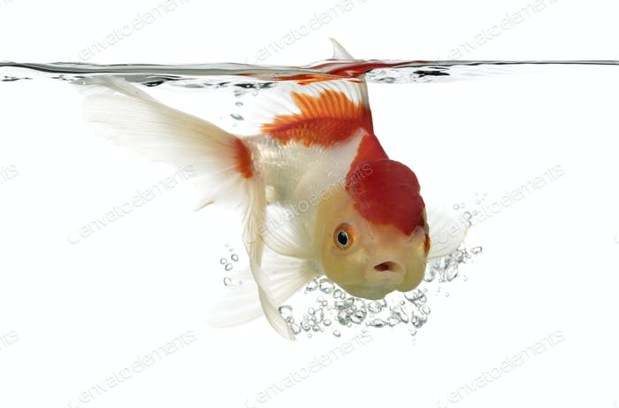 Side view of a diving lion's head goldfish