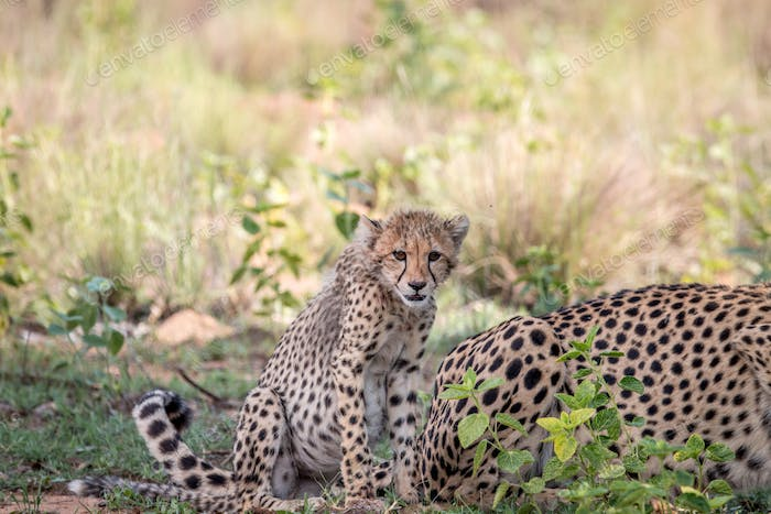 Cheetah cub starring at the camera.