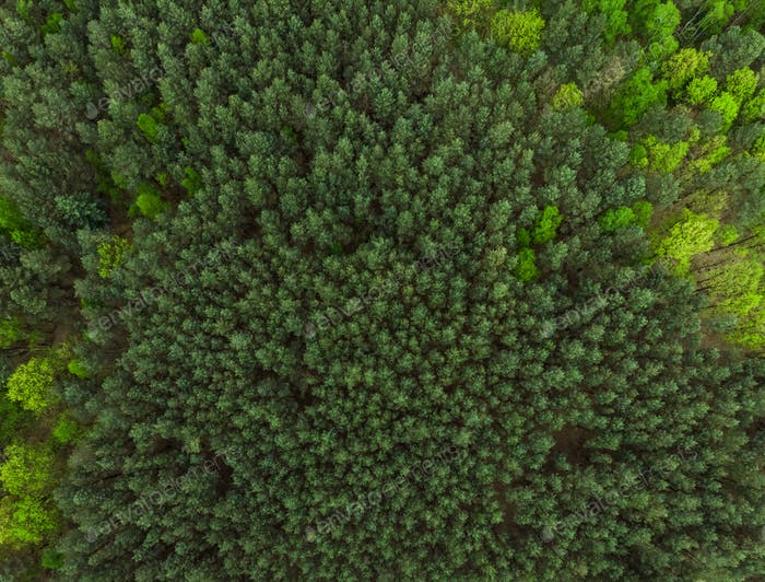 Pine forest at spring colors,aerial view