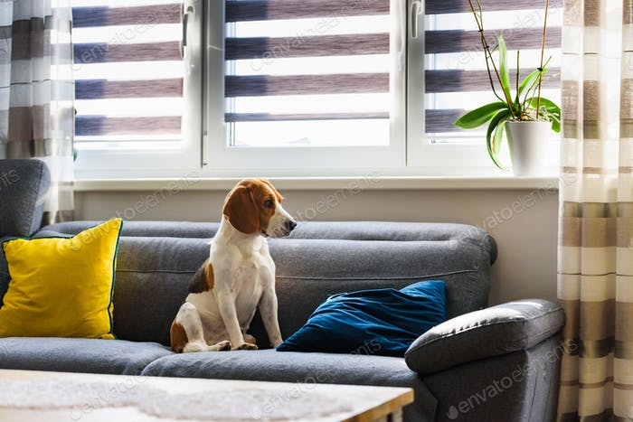 Dog sitting on a sofa next to window in bright room. Sadness and anticipation concept