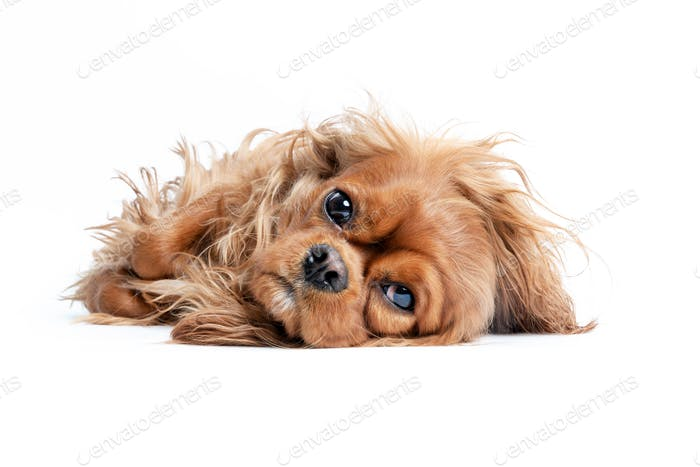 Relaxed cavalier spaniel