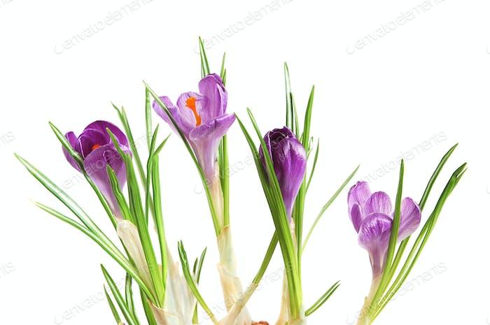 Violet crocuses