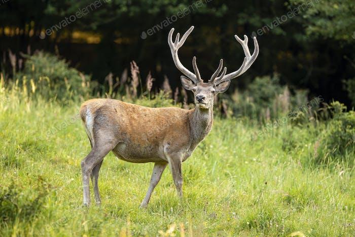 Alert red deer with growing antlers in velvet standing on green meadow in summer