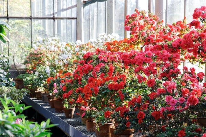 blühende bunte Azaleen im Gewächshaus, blühende Rhododendren