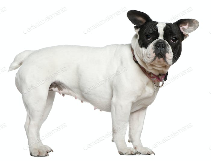 French bulldog, 1 and a half years old, standing in front of white background