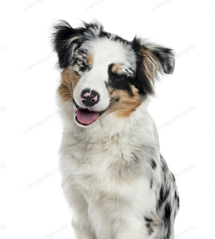Australian Shepherd puppy isolated on white