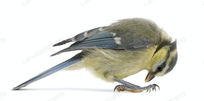 Young Blue Tit, Cyanistes caeruleus, looking down in front of white background
