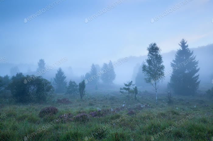 birch trees on heathland in dense fog