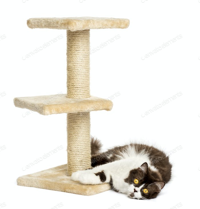 British longhair lying down at the foot of a cat tree, isolated on white
