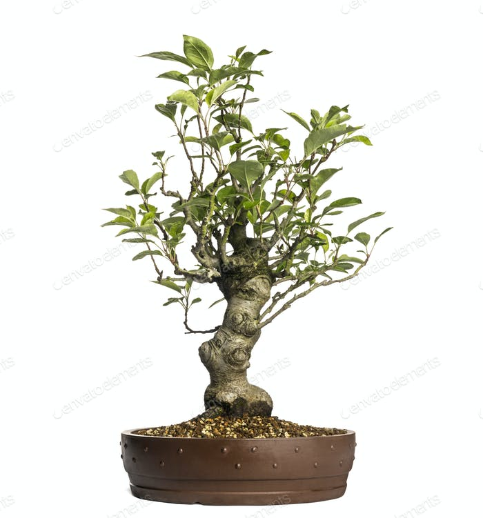 Malus Perpetu bonsai tree, isolated on white
