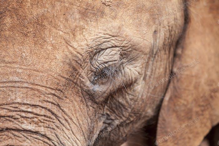 African Elephant, closeup