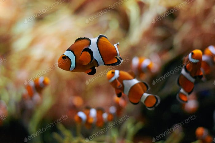 school of clown fish swimming underwater