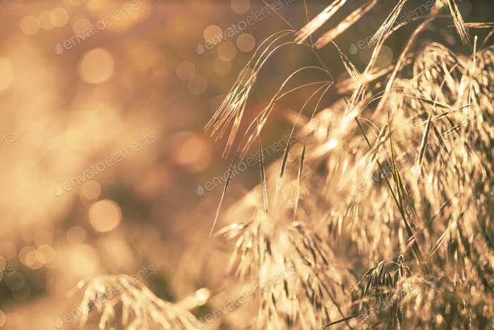 summer grass, backlit