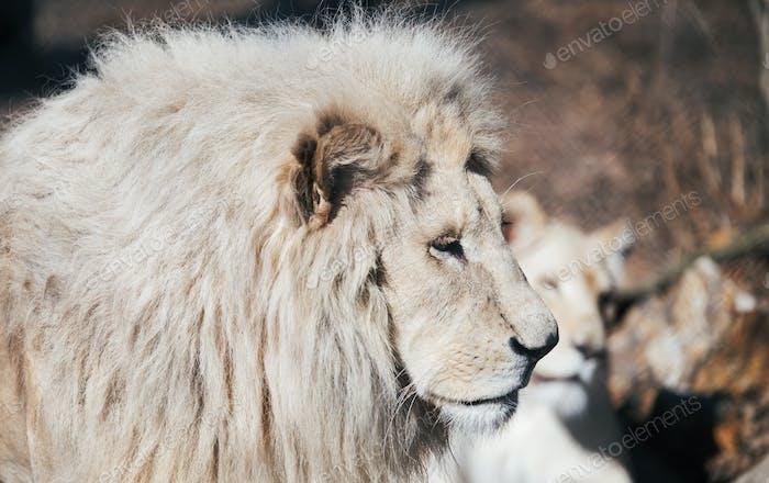 Schöner Albino Weißer Löwe