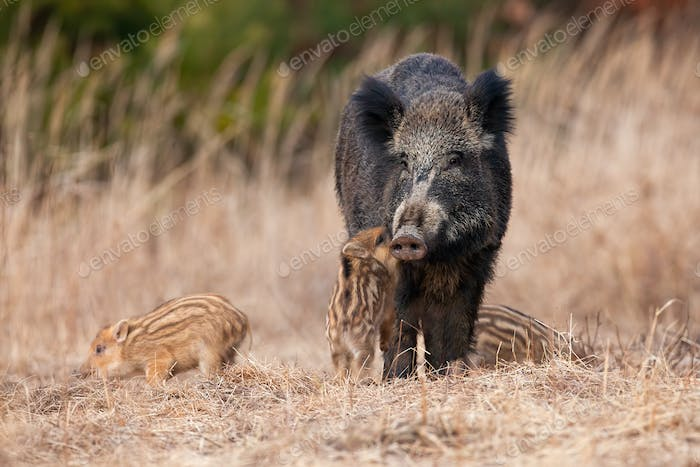 Family wild boar standing on meadow in autumn nature