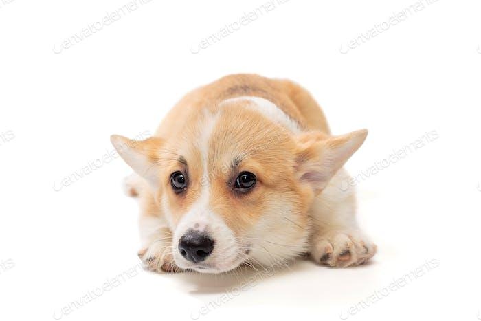 Funny Pembroke Corgi puppy looks lying down
