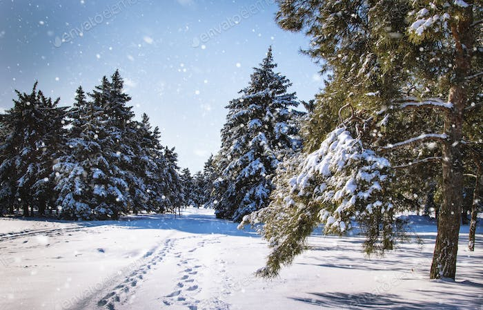 Wonderful winter landscape with snowy pine and fir trees and blue sky.