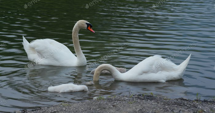 Family of the swan in the lake