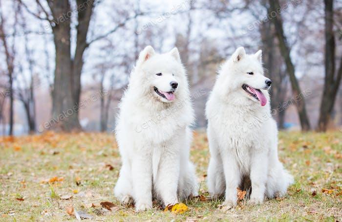 Männliche und weibliche samoyed Hunde im Herbstpark