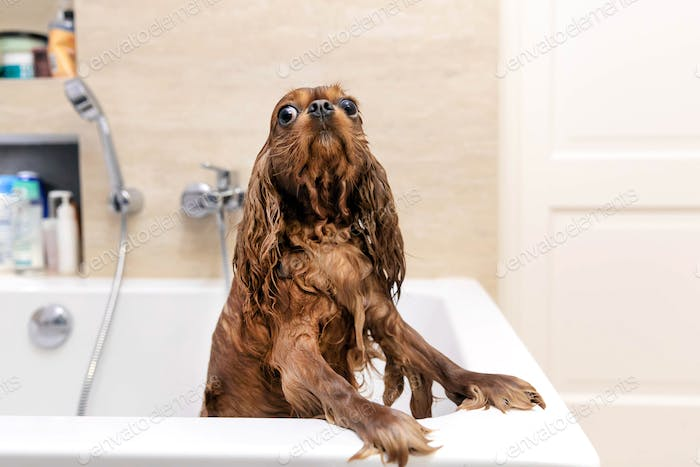 Funny dog after taking a bath