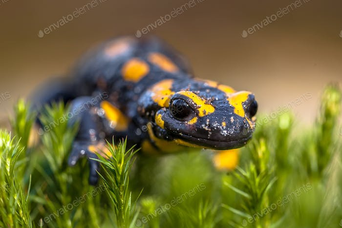 Fire salamander newt on moss