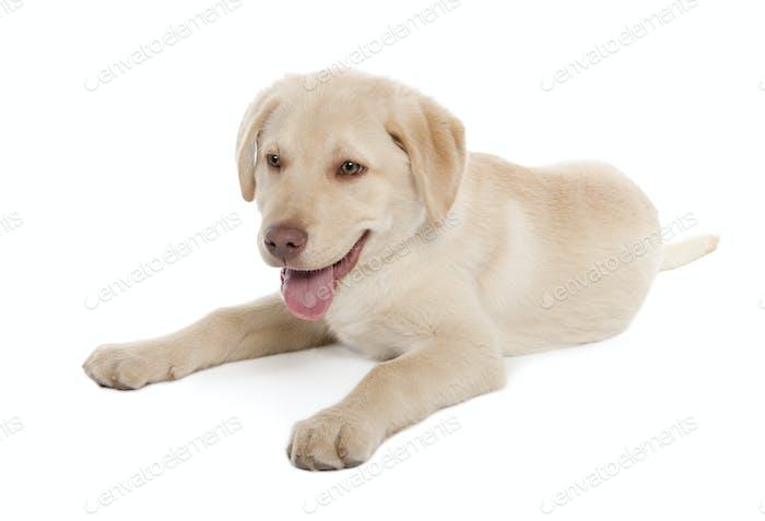 Labrador puppy (4 months)