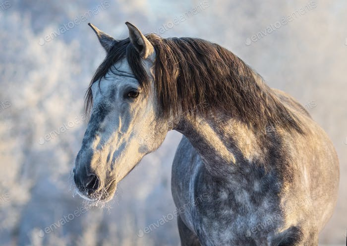 Winter portrait of Andalusian gray horse with long mane at sunset light