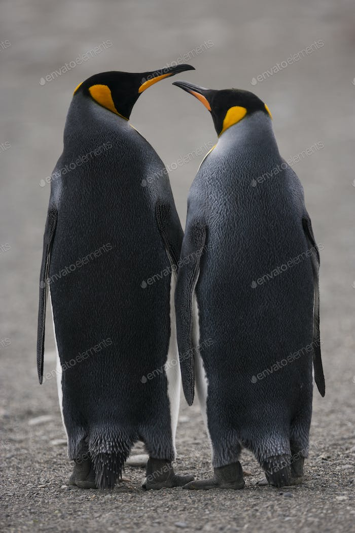 Two adult King Penguins, standing side by side, beak to beak on South Georgia Island