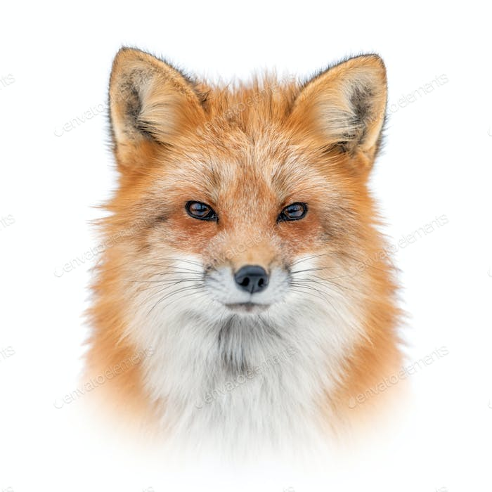 Red fox on white background