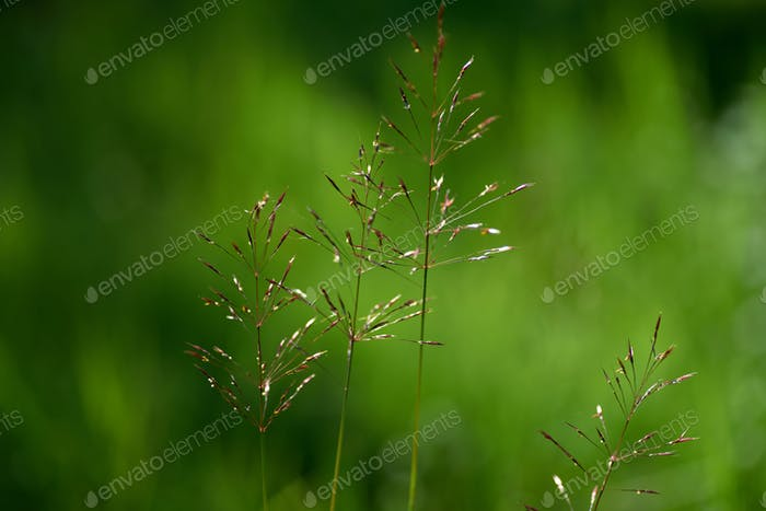 Seeds of grass in late season