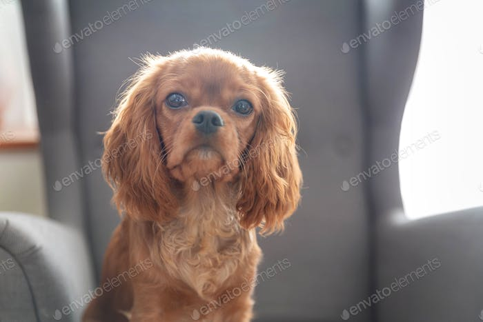 Puppy of king charles cavalier spaniel