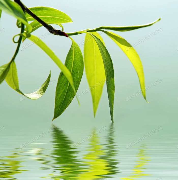 Green branch of a willow reflected in water