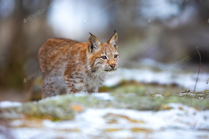 Focused eurasian lynx hunting in the forest at early winter