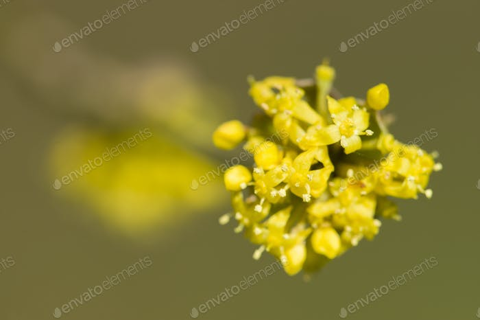 Cornus mas, Cornelian cherry, European cornel, dogwood yellow fl