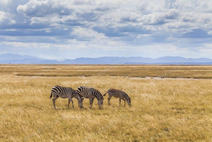 Wild zebras on the African savannah. Kenya