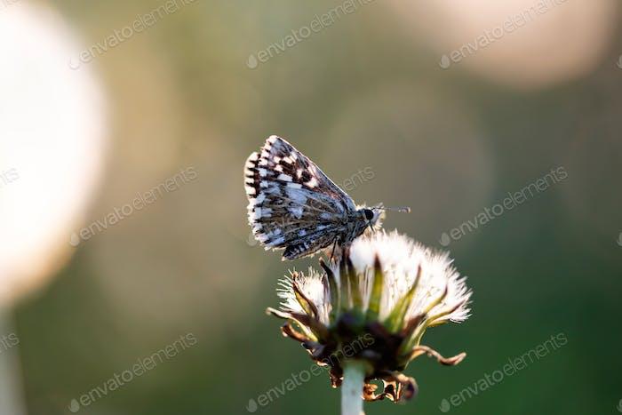 Blauer Schmetterling auf Löwenzahn Blume.