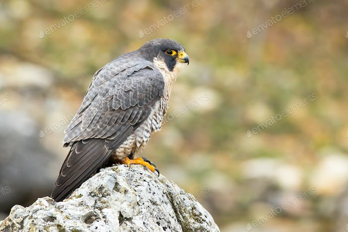 Magnificent peregrine falcon staring on rock in spring