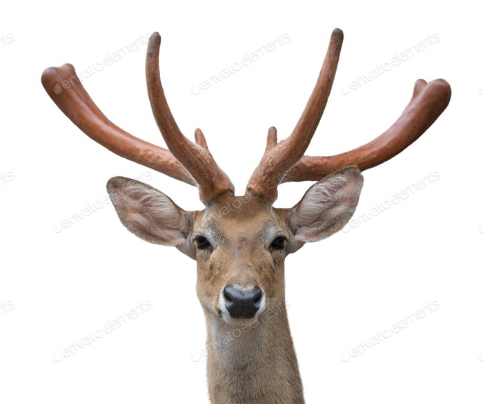 eld deer (Rucervus eldi) head isolated
